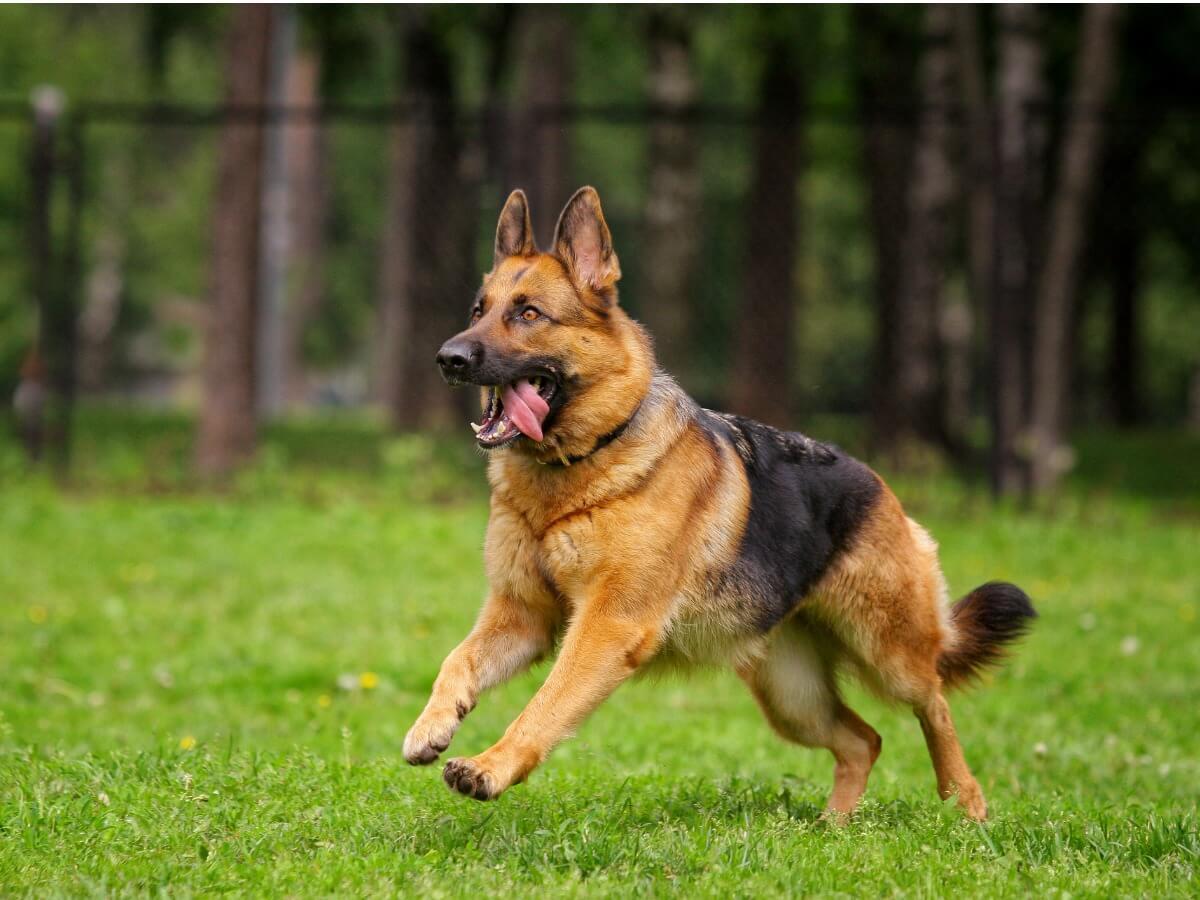 Un pastor alemán corriendo.