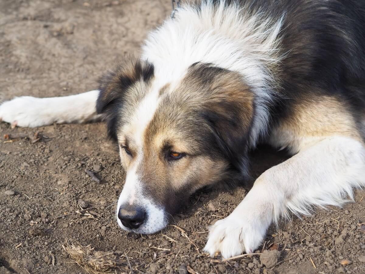 Un pastore dei Carpazi sdraiato.