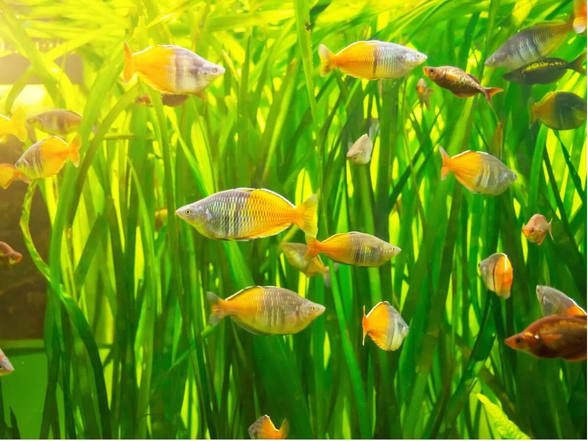 Un pez arcoíris en un acuario.