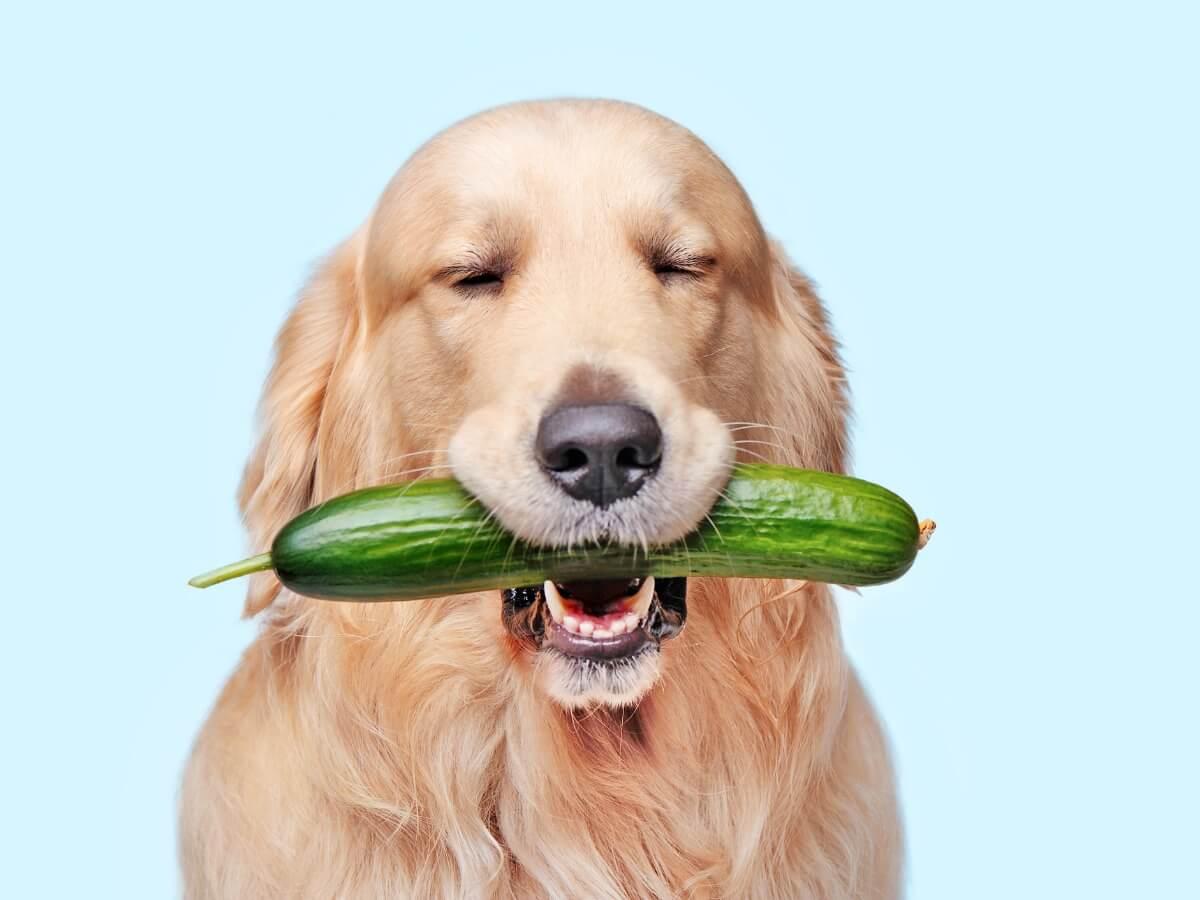 ¿Los perros pueden comer pepino?