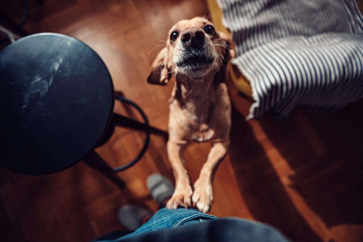 Una de las formas que tienen los perros para llamar la atención es llorar.