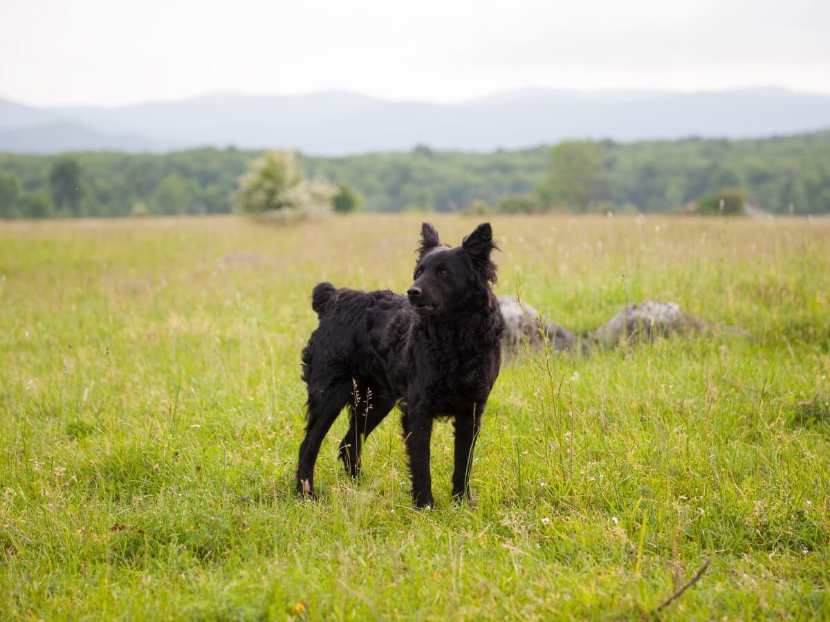 Een Kroatische herdershond
