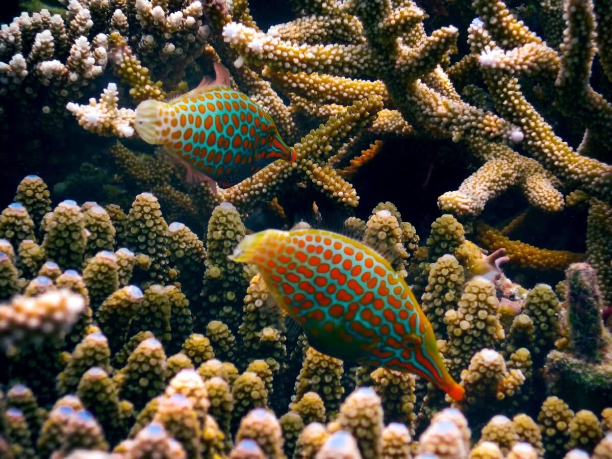 Orange spotted filefish.