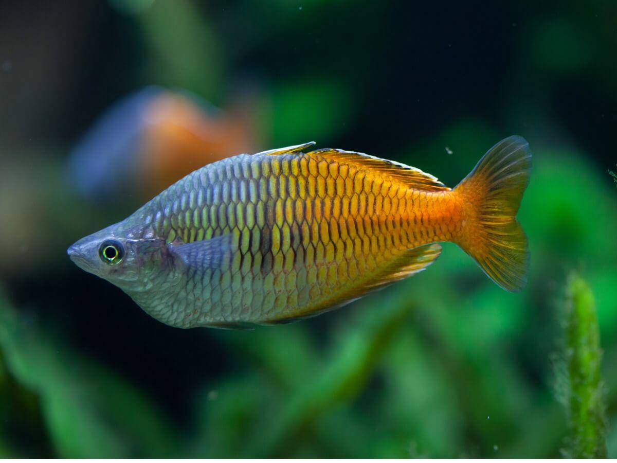 Un pez arcoíris de gran tamaño.