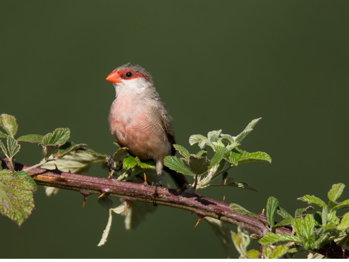 Uno de los pájaros tropicales más pequeños.