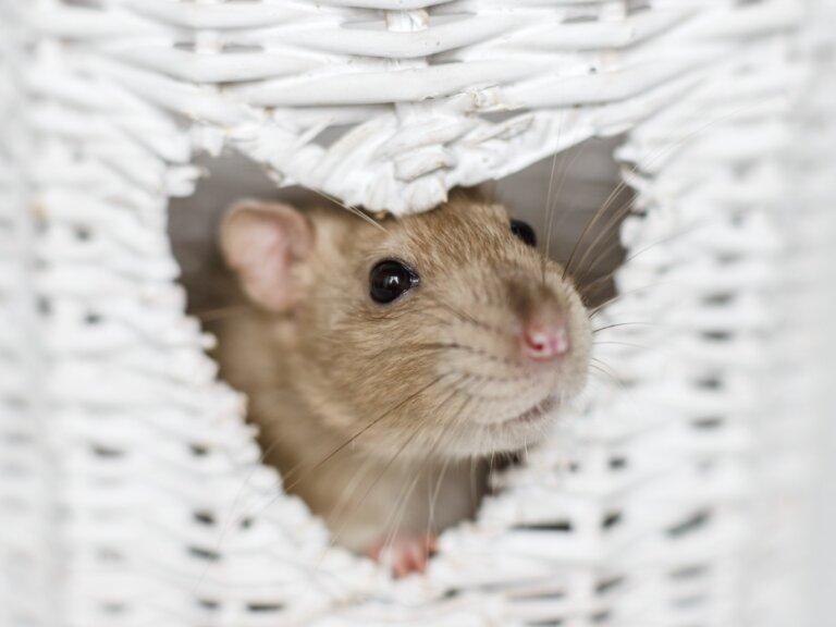 Los 6 roedores más inteligentes