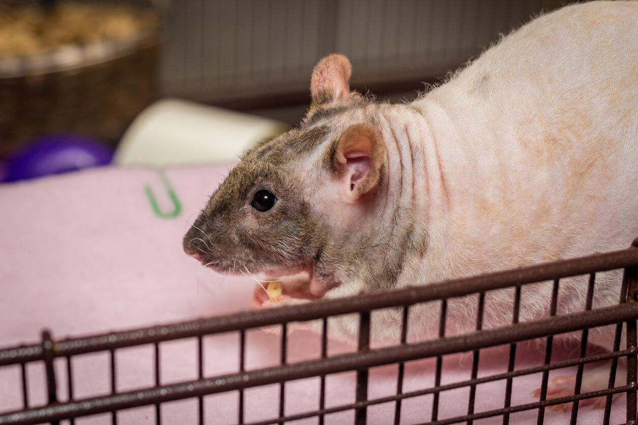 En av rotter man kan ha som kjæledyr