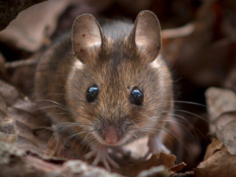 ¿Por qué son tan importantes los ratones de campo?