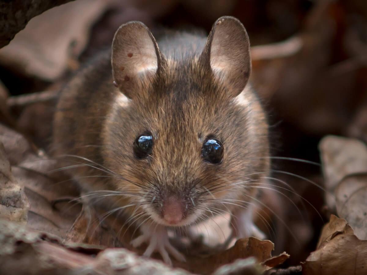 ¿Por qué son importantes los ratones de campo?