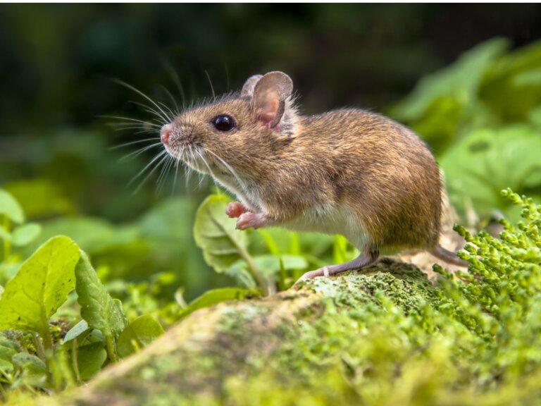 Diferencias entre rata y ratón