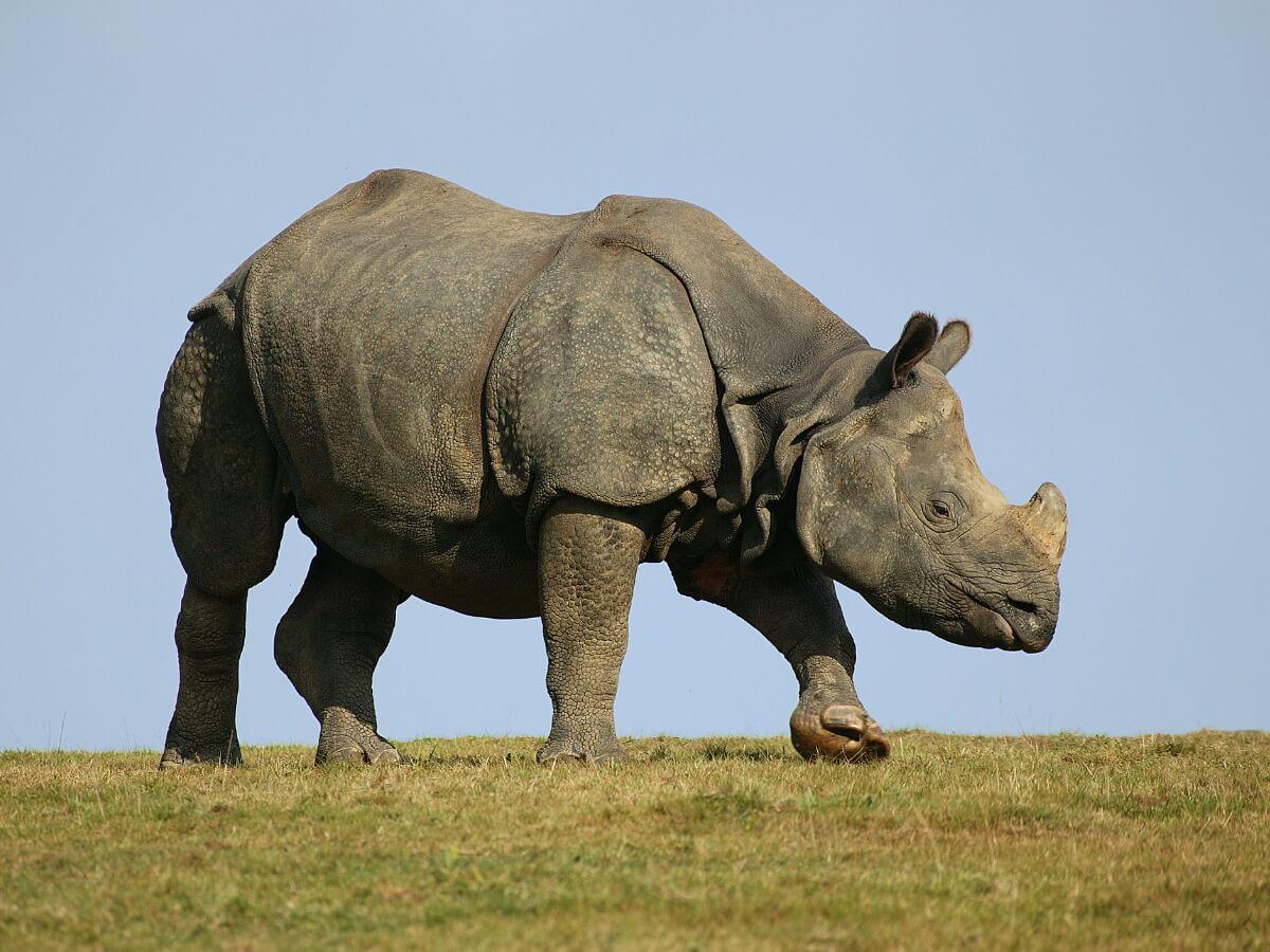 Un rinoceronte indiano.