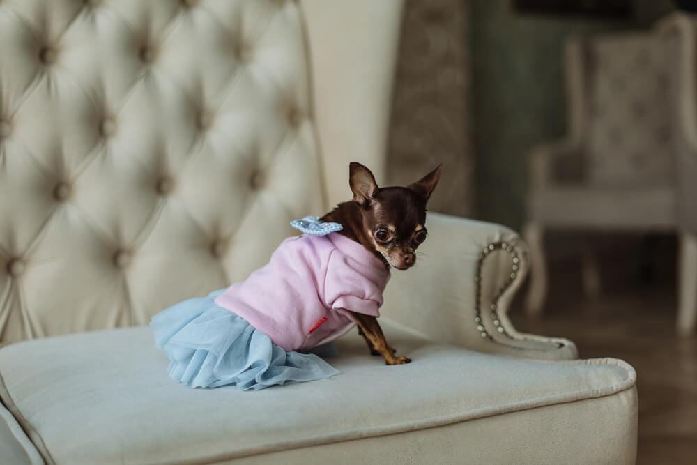 Perro vestido en el sofá.