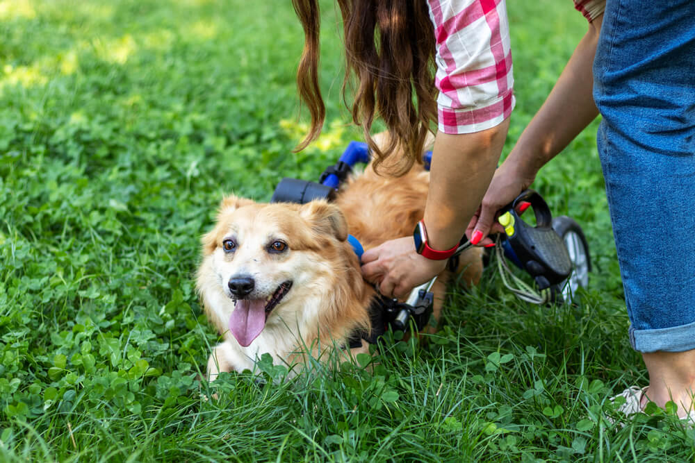 Handikappade hundar.