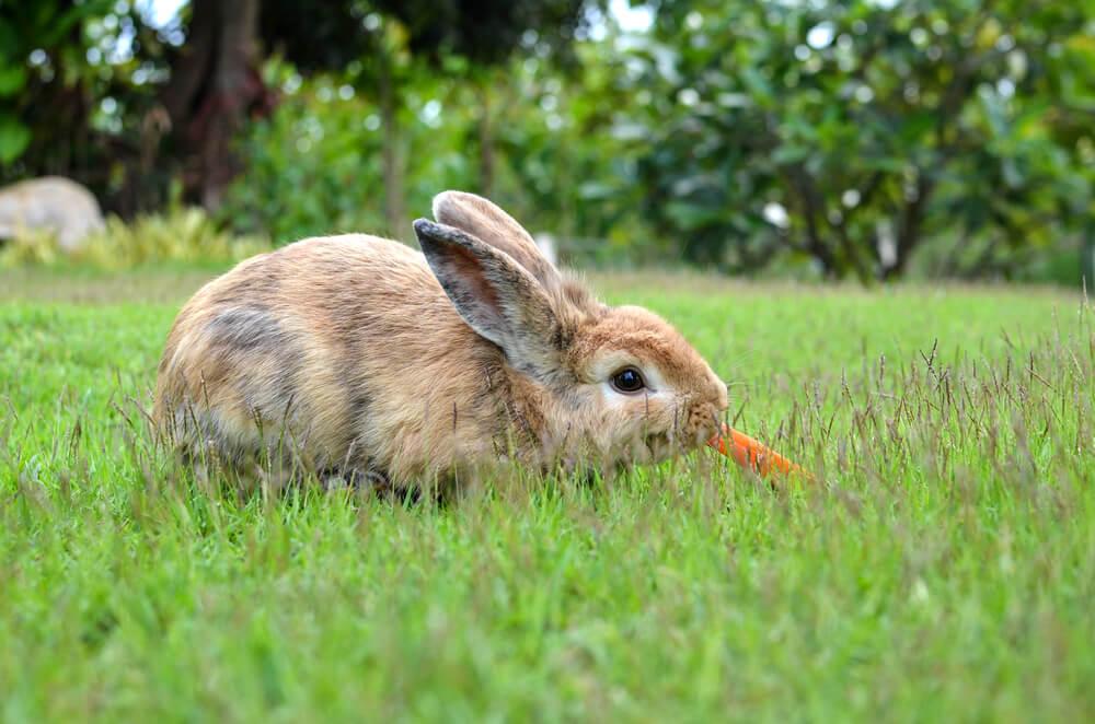 Conejo comiendo.