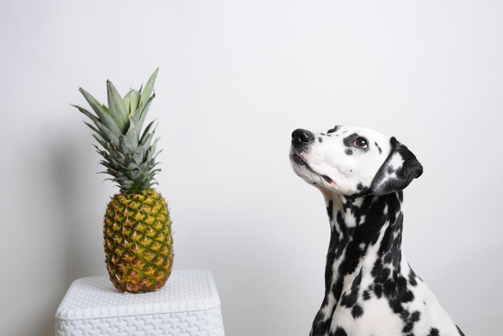 Chien près d'un ananas.