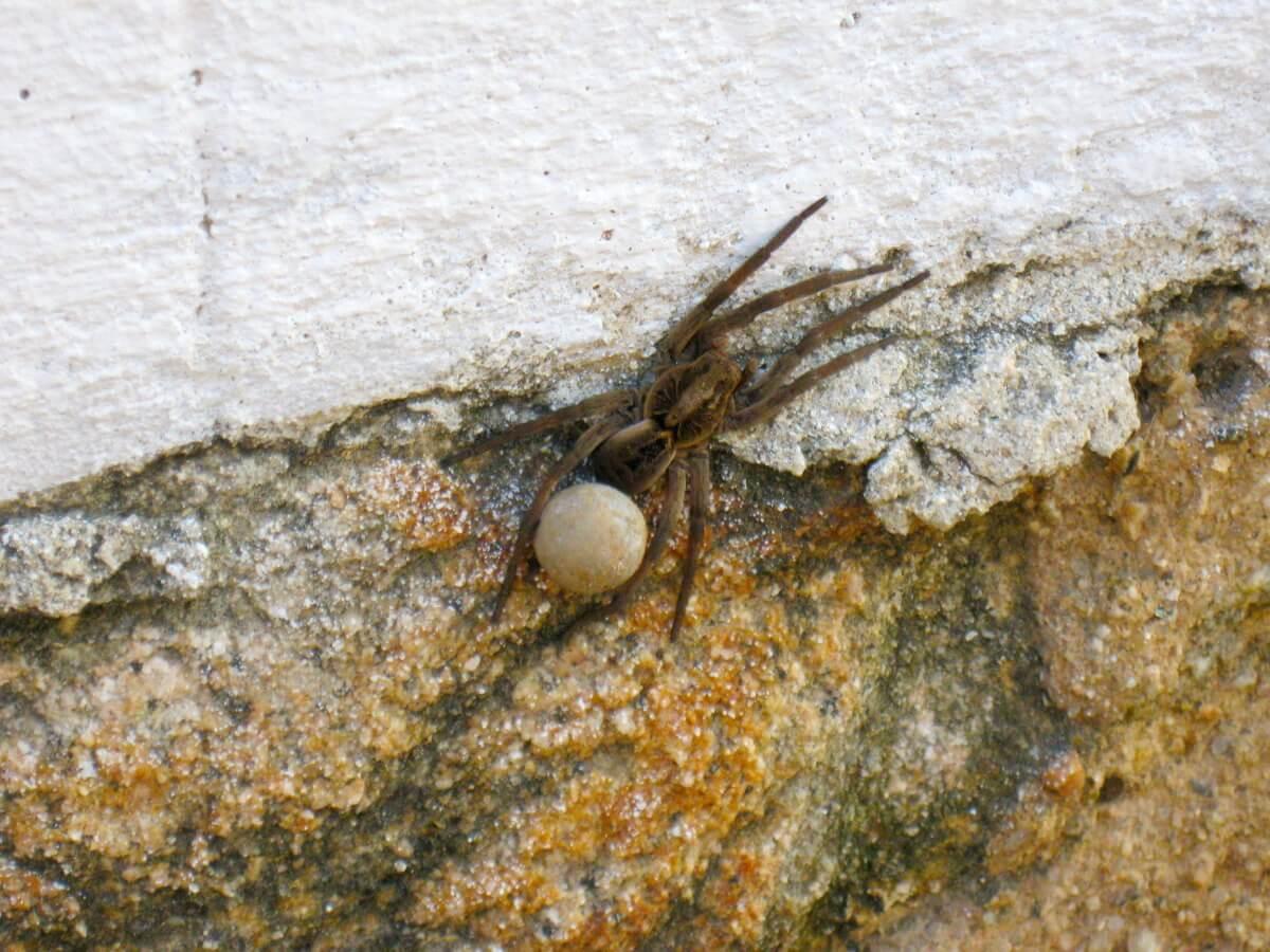 Um dos tipos de aranhas mais perigosos.