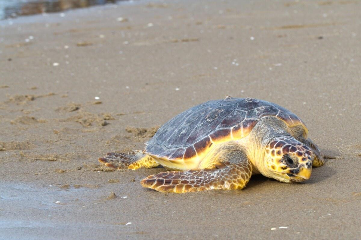 Zeeschildpad op het strand