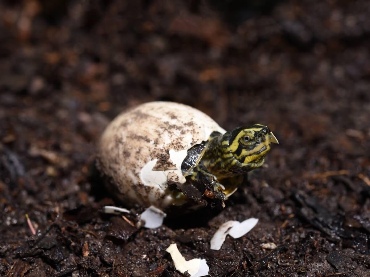 Una tortuga saliendo de un huevo.