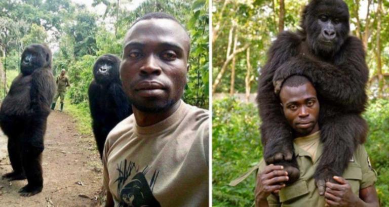 Gorilas que son protegidos contra la caza furtiva, posan junto a guardabosques