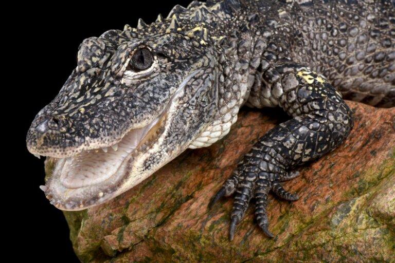 Aligátor chino: hábitat y características