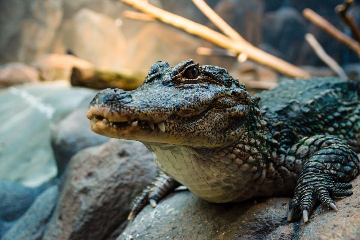 Un aligátor chino.