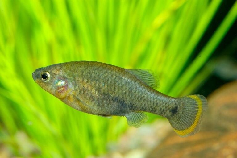 Tiro listado: hábitat, características y conservación