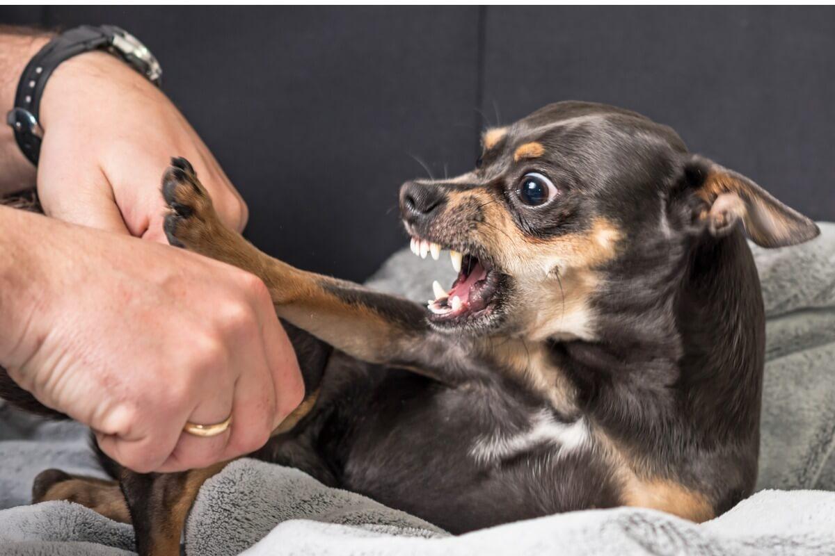 Un cachorro muerde y gruñe a su tutor.