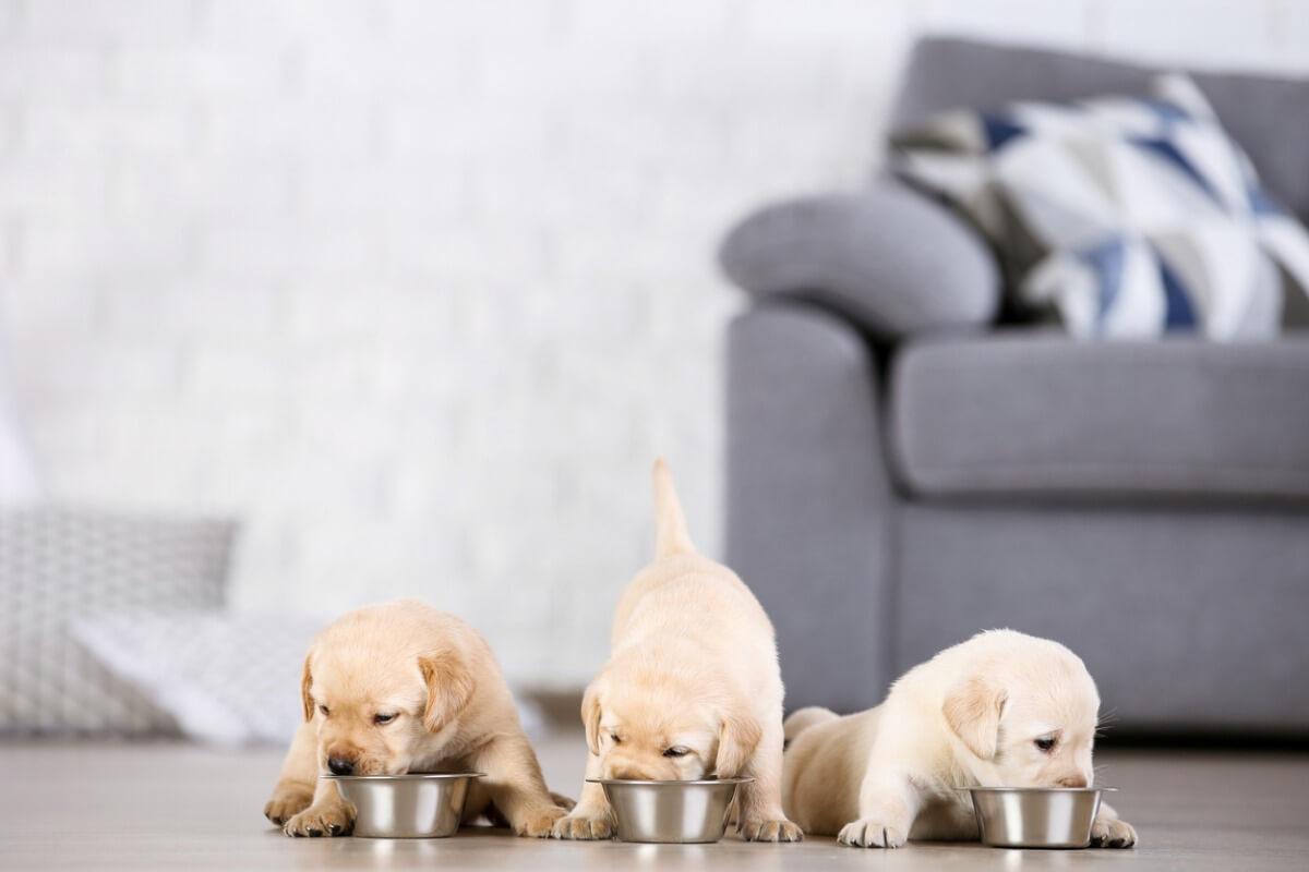 ¿Cuál es el mejor pienso para cachorros?