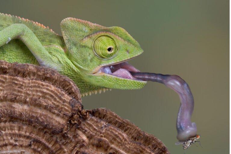 ¿Los camaleones beben agua?