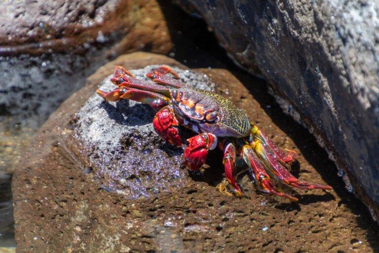¿Cómo respiran los cangrejos?