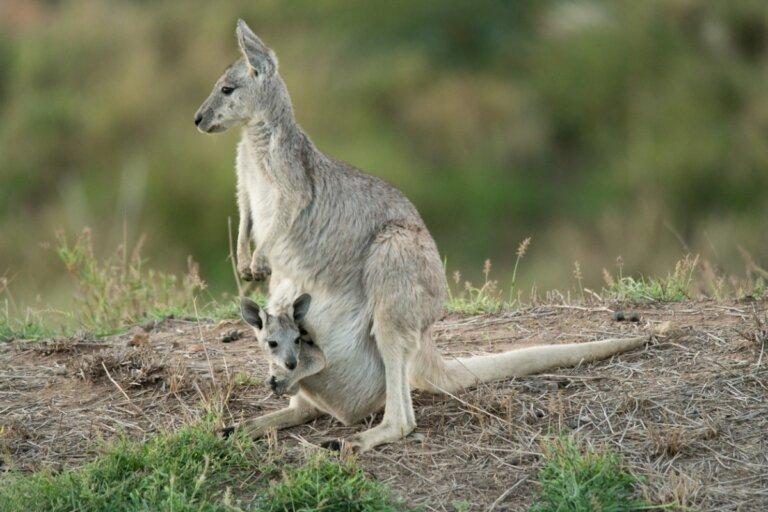 Canguro gris oriental: hábitat y características
