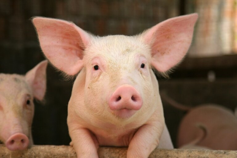 10 curiosidades de los cerdos