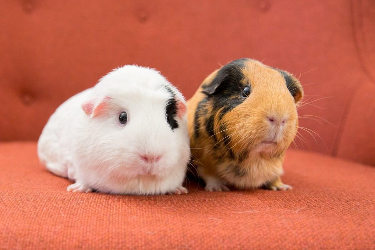 Deux cochons d'Inde américains sur une chaise.