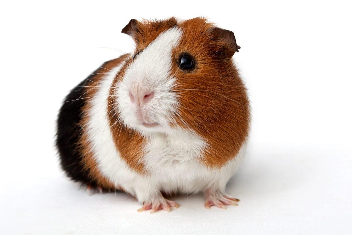 Un cochon d'Inde américain.