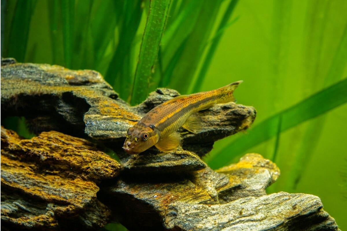Un pez comedor de algas.