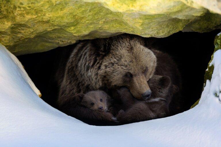 ¿Cómo hibernan los osos?
