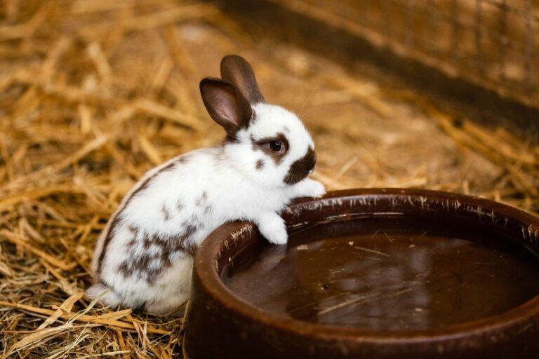 ¿Los conejos toman agua?