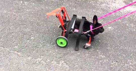Conejo discapacitado logra caminar gracia a su silla de ruedas