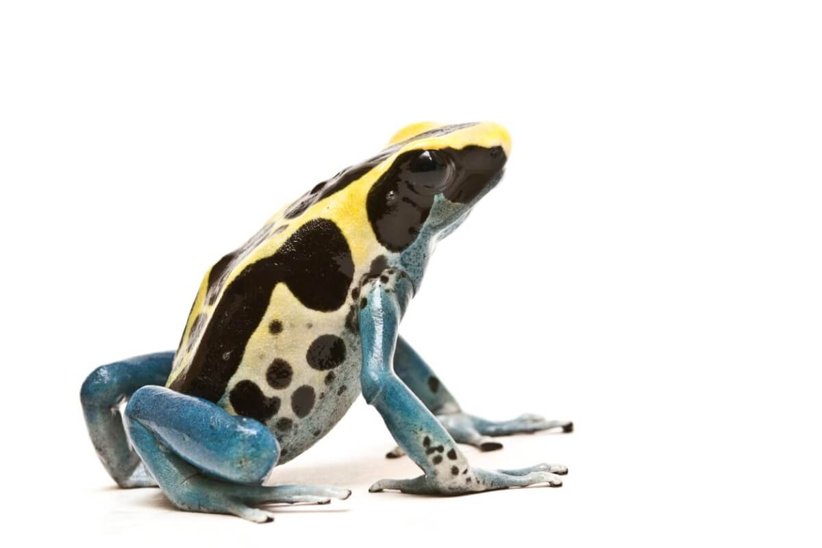 A toxic amphibian.