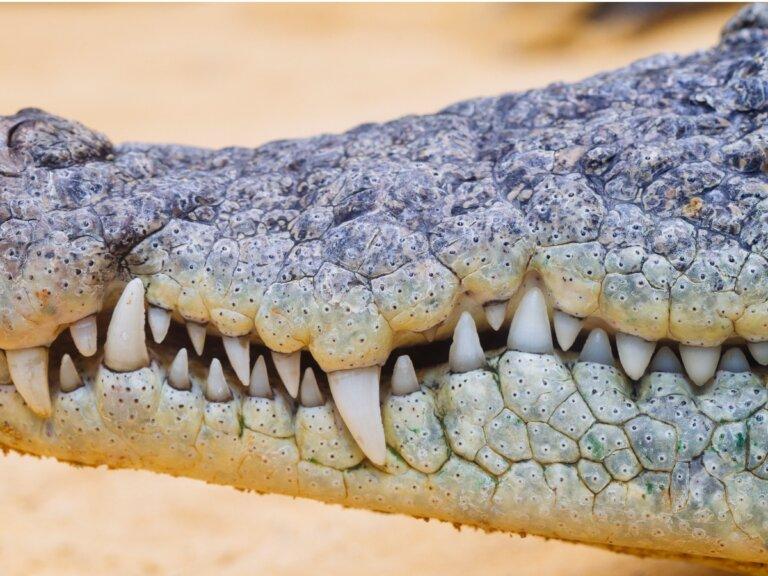 ¿Cuántos dientes tiene un cocodrilo?