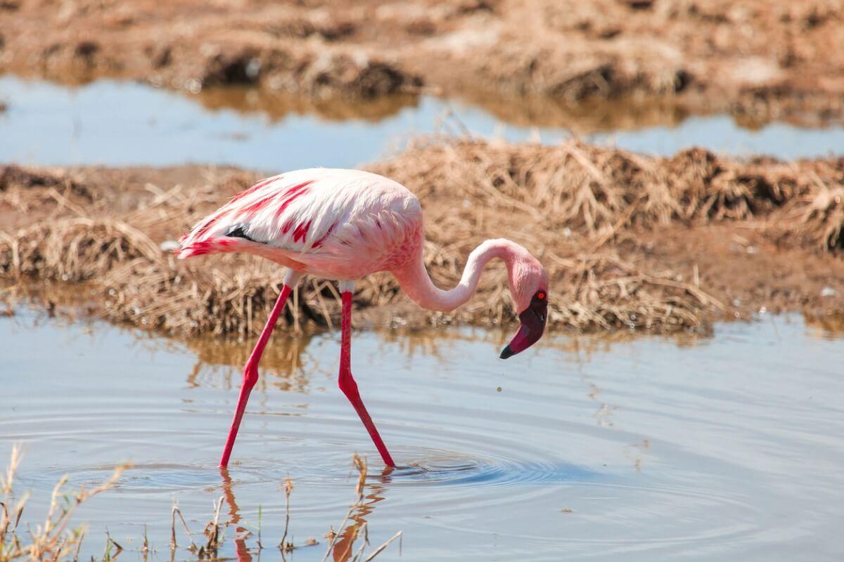 ¿Por qué los flamencos son de color rosa?