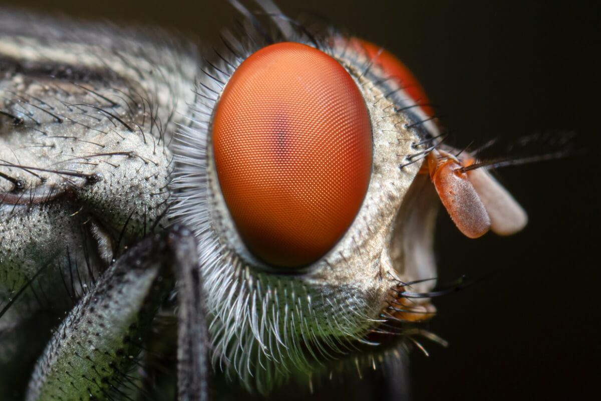 10 curiosidades de las moscas