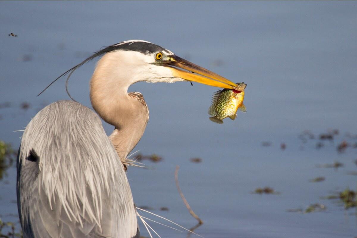 Peces podrían utilizar a las aves para colonizar nuevos lugares, muestra estudio