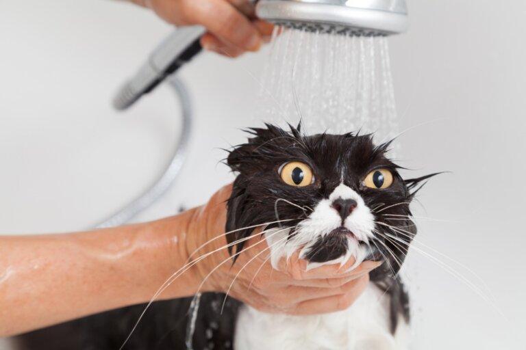 Primer baño del gato adulto: todo lo que debes saber