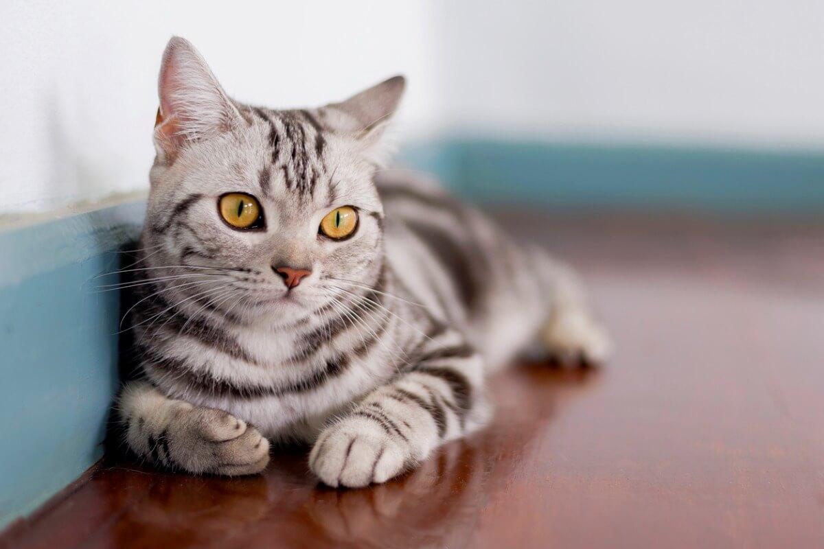 Un gato de pelo corto.
