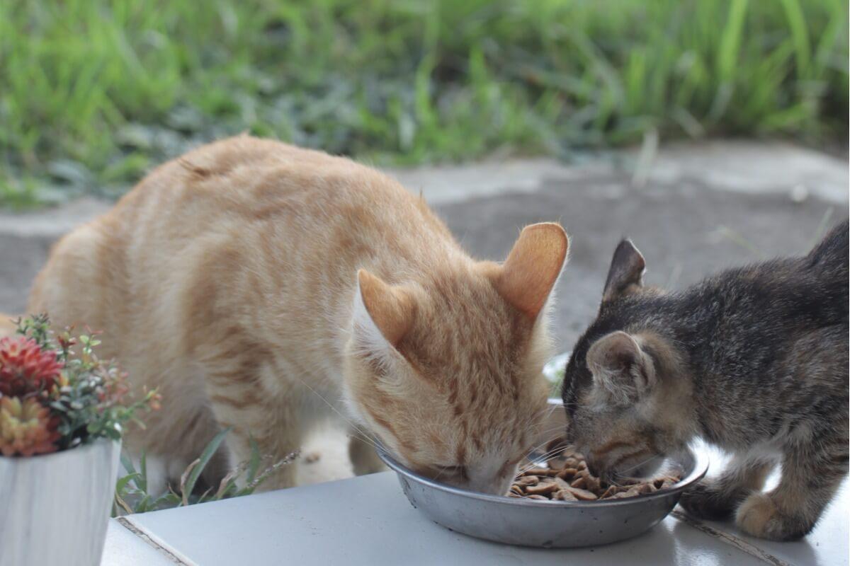 Un chat mange la nourriture d'un autre.