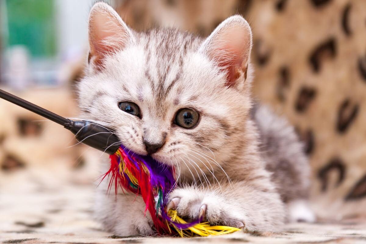 Un gato comiéndose una pieza de plástico.