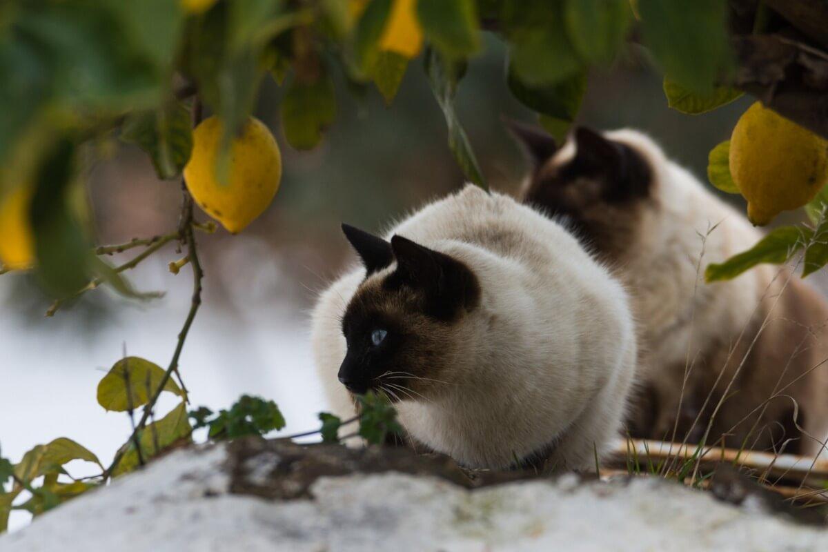 En katt i et sitrontre.