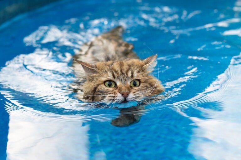 6 razas de gatos a los que les gusta el agua