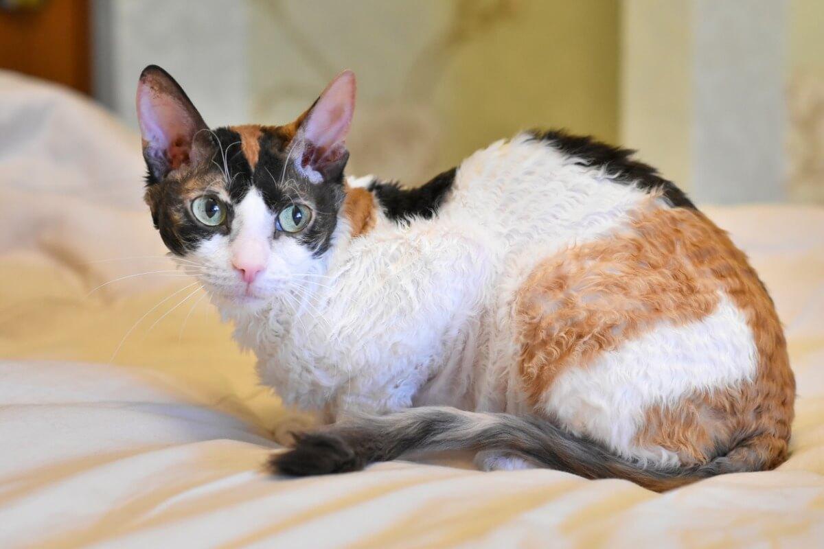 Un gato ural rex de muchos colores.